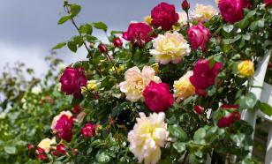 Подкормка роз сразу после зимы