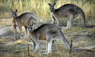 """Житель Австралии организовал """"кенгуру-джихад"""""""