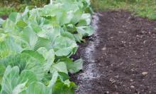 Как использовать золу в саду и огороде?