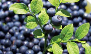 Диетолог: ягоды предотвращают онкологию