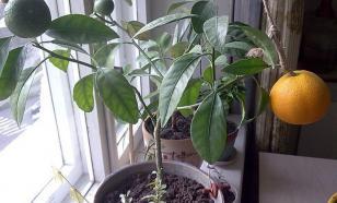 Выращивание грейпфрута в домашних условиях
