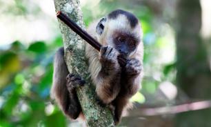 Ученые нашли обезьян, изготавливающих каменные орудия труда