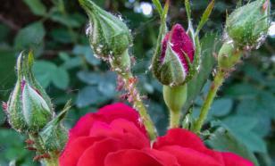 Избавляемся от тли на розовых кустах: эффективные способы