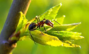 Как защитить плодовые культуры от муравьев