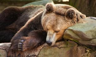 Жителей Ноябрьска беспокоит не ушедший в спячку медведь