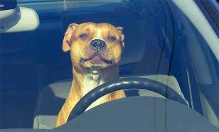 Собаки тоже любят напевать за рулем