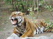 Амурскому тигру готовят ракетный обстрел