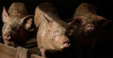 Россельхознадзор: США и Евросоюз несут колоссальные убытки от запрета ввоза свинины