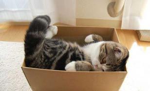 Почему кошки любят забираться в коробки