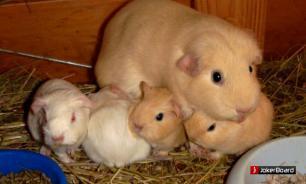 Морские свинки: как ухаживать