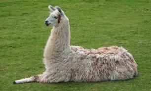 Опасный яд распознают ламы