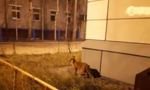 По улицам Нижневартовска бродит лиса