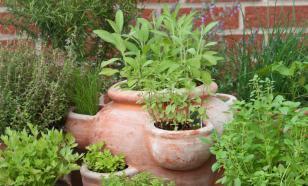 Долой аптеки: Как вырастить лекарство в огороде