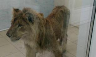 В иркутском питомнике спасают льва