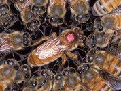 Пчелиная демократия не разрушает улей