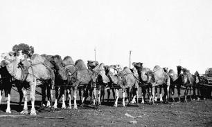 Верблюжья кавалерия Америки: чудо-оружие против индейцев
