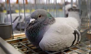 """Англичанин пять лет """"воюет"""" с голубями за свой сад"""