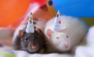Как приручить декоративную крысу?