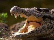Крокодилы оказались чувствительнее людей