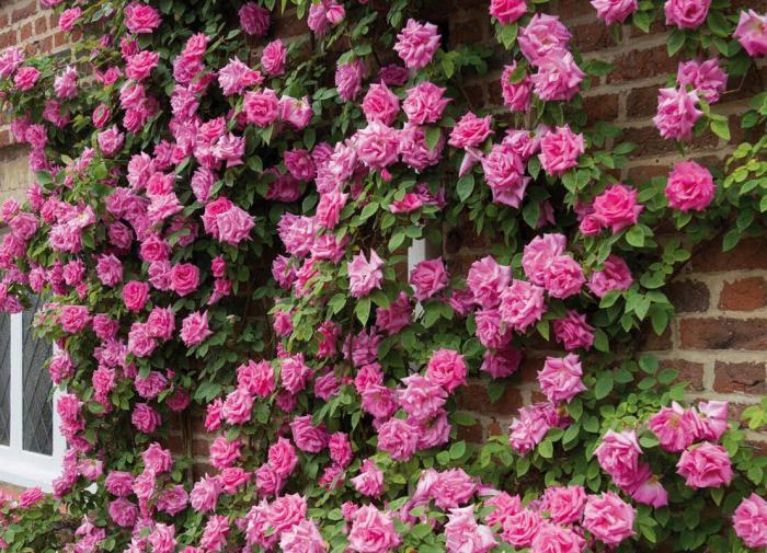 Розы и их лучшие сорта для создания цветника