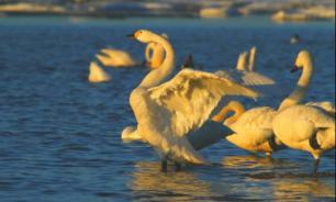 В Соходонском заповеднике созданы условия для наблюдения за лебедями