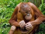 Орангутаны - теоретики, а не экспериментаторы
