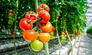 Новосибирская область увеличит производство овощей вдвое