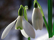 """За десять дней """"Первоцвета"""" изъято более 32 тысяч цветов"""