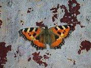 В Москве замечена первая бабочка