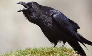 Вороны хорошо помнят зло и добро