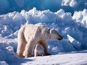 Китай будет охранять медведей в Арктике
