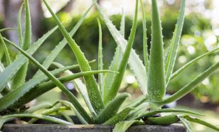 Любимое растение древних: любопытные факты об алое