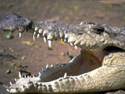Большая крокодила на двух ногах ходила