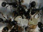 И муравьи предпочитают разнообразие
