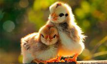 Как помочь птенцам