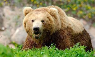 Высокой явке на выборы не смог помешать даже шальной медведь