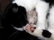 Крысы - предвестники чумы или спасители?