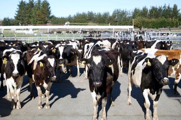 """""""Зеленой репутации"""" Новой Зеландии угрожают коровы и рост экономики"""