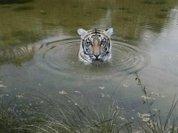 В Непале и тигры сыты, и люди целы