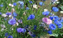 Садовый василек: идеальное растение для новичков