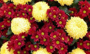 Садовая хризантема: сорта, выращивание, подкормка