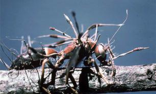 Зомби среди животных: гриб, вызывающий суицид у муравьев