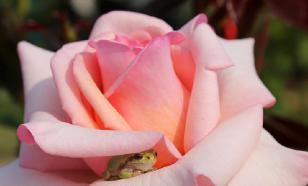 Перезимуем! Как уберечь розы от мороза