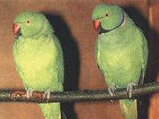 Лондон терроризируют попугаи, а Ростов - пираньи