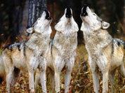 Раскрыта тайна волчьего воя