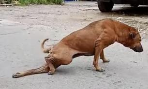 Бродячая собака научилась притворяться хромой ради получения еды