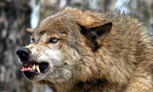 Жители села в Коми просят ввести вечерний автобус из-за разгула волков