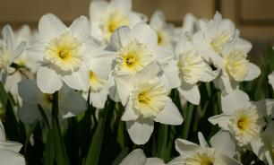 Нарциссы — цветы весны