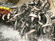 Остаются от рыбки гормоны и убытки