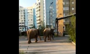 В Якутске мужчина выгулял двух слонов по улицам города